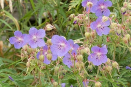 Meadow Cranesbill, easily grown in the garden, and the parent of many of the beautiful hardy geraniums developed for gardens.