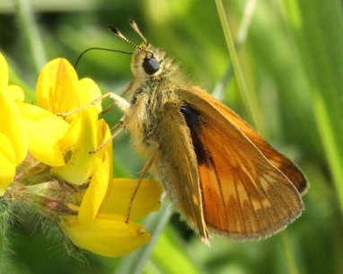 Large  Skipper on one of its favourite food plants, Birds Foot Trefoil.