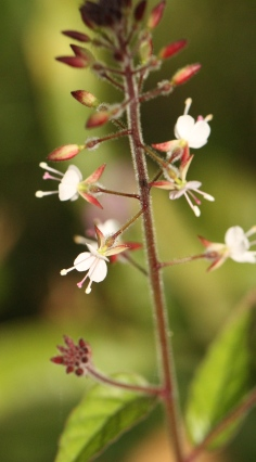 The tiny, unusual two-petalled flowers of Enchanters Nightshade.
