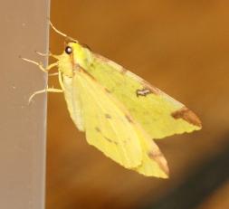Brimstone Moth
