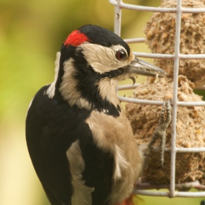 Adult Male Great Spotted Woodpecker, showing its definitive red nape (back of head).