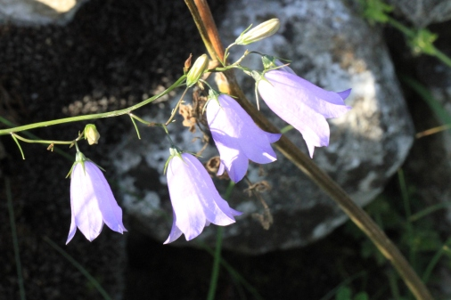 The delicate, wonderful Harebell (called Bluebell in Scotland) that looks good in rough grass or alpine beds. Of course there are many other campanulas of al heights and forms, for gardens.