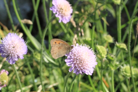 A Meadow Brown Butterfly feeding on Field Scabious, out now in the White Peak. This and other Knautia varieties are easy to grow in any garden.