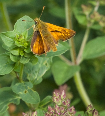 Male Small Skipper butterfly on our marjoram