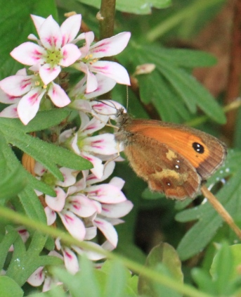 Gatekeeper butterfly, showing its double white spot in the 'eye' and white spots on the hind-wing.