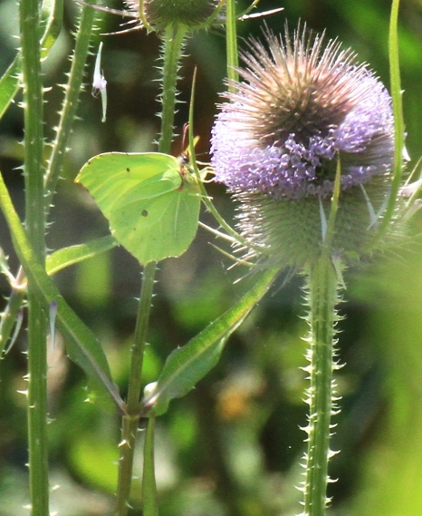The beautiful male Brimstone butterfly, newly emerged from its chrysalis and feeding on nectar from Teasels.