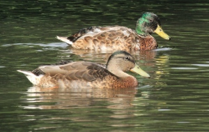 Male Mallards in transition plumage