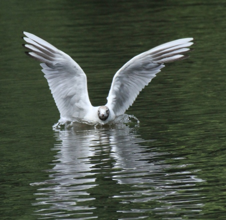 A Black=headed Gull, also in transition plumage, losing it's chocolate brown/black head colouring.