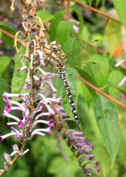 A Common Hawker, in the garden this week.