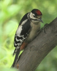 Juvenile Great Spotted Woodpecker showing the definitive red cap on the top of its head.