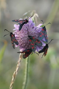 There were dozens of Burnet Moths feeding on the Scabious and Thistles.