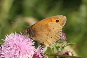 Its relative, the Meadow Brown, at rest, for comparison.