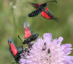 Six Spot Burnet Moths showing the red hnd-wing