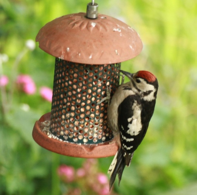 Juvenile Great Spotted Woodpecker with its red cap.