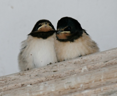 Young Swallows in a church porch