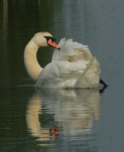 Mute Swan- the native swan that is resident all year round.