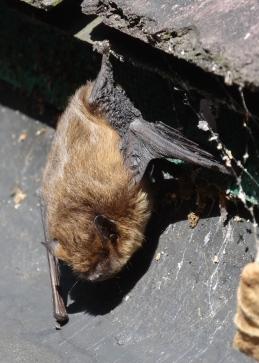 Pipistrelle Bat roosting in a gutter.