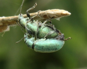 A pair of mating Nettle-Weevils.