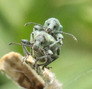 Nettle Weevils