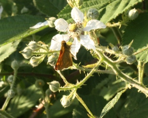 Large Skipper Butterfly enjoying the rich nectar of Bramble flowers