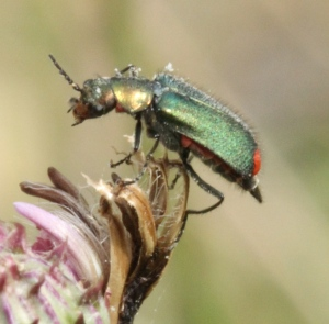 A green and red species of Soldier Beetle