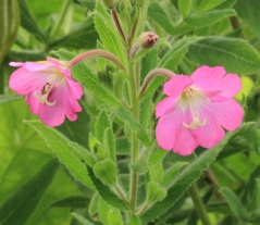 The lovely big flowers of Great Willow Herb