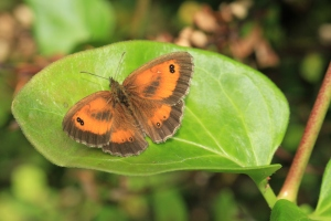 Male Gatekeeper with the same definitive two-spotted eye on the forewing but also the brown patch of scent-scales on its forewings.