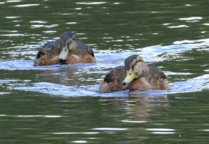 For a few weeks in late summer male and female Mallards have similarly camouflaged plumage