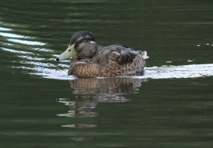 During this period Mallards are unable to fly, having shed their flight feathers in one go.