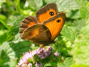 A female Gatekeeper, with its double white spot on the eye on the forewing, and clear orange area of forewing.