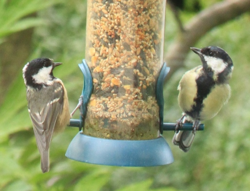 The Coal Tit feeding today with a Great Tit, without being chased off the food.
