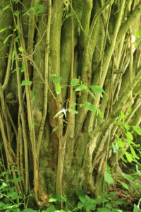 The mass of straight stems of an often-coppiced Hazel Bush