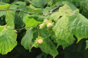 A branch of Hazel with a couple of clusters of Hazel Nuts, ripening.