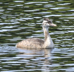 Striped head of the young Great Crested Grebe