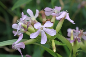 Soapwort, a naturalised plant, still used to clean delicate fabrics.