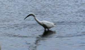 One of 3 Little Egrets fishing in shallow water at Denaby Ings