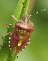 Hawthorn Shield Bug (or a very similar species hard to distinguish).