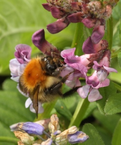 Bumble Bee alighting on the keel of Bush Vetch to access the nectar.