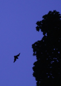 Pipistrelles fly between 5-10 metres above the ground, often near trees.