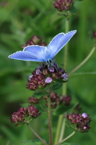 A male Common Blue Butterfly, feeding on Marjoram.