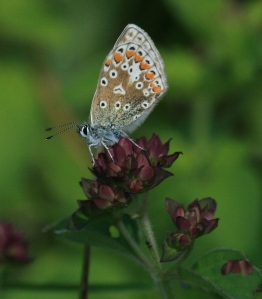 Underside of a Common Blue butterfly at rest.