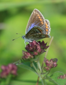 Female Common Blue Butterfly, showing its much browner colouring.