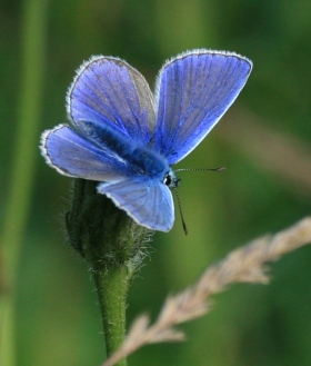 Male Common Blue Butterfly, showing its narrow white and black margin to the wings.