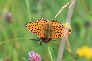 A Dark Green Fritillary Butterfly on grassland at Millers Dale.