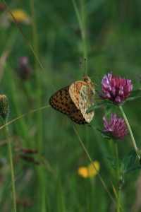 A Dark Green Fritillary showing the underside of the wings with their green sheen and silver patches