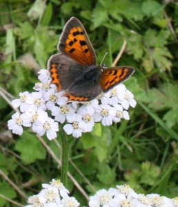 The strongly patterned, distinctive Small Copper butterfly feeding on Yarrow (Achilea)