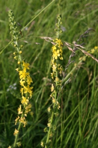 Yellow Agrimony flower spikes.