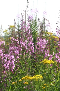 Rose Bay Willow Herb, also known as Fireweed