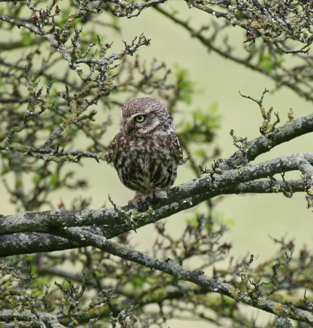 The beautiful Little Owl, our smallest resident Owl.