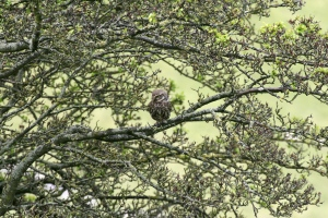 A Little Owl, well camouflaged in Deep Dale, Derbyshire